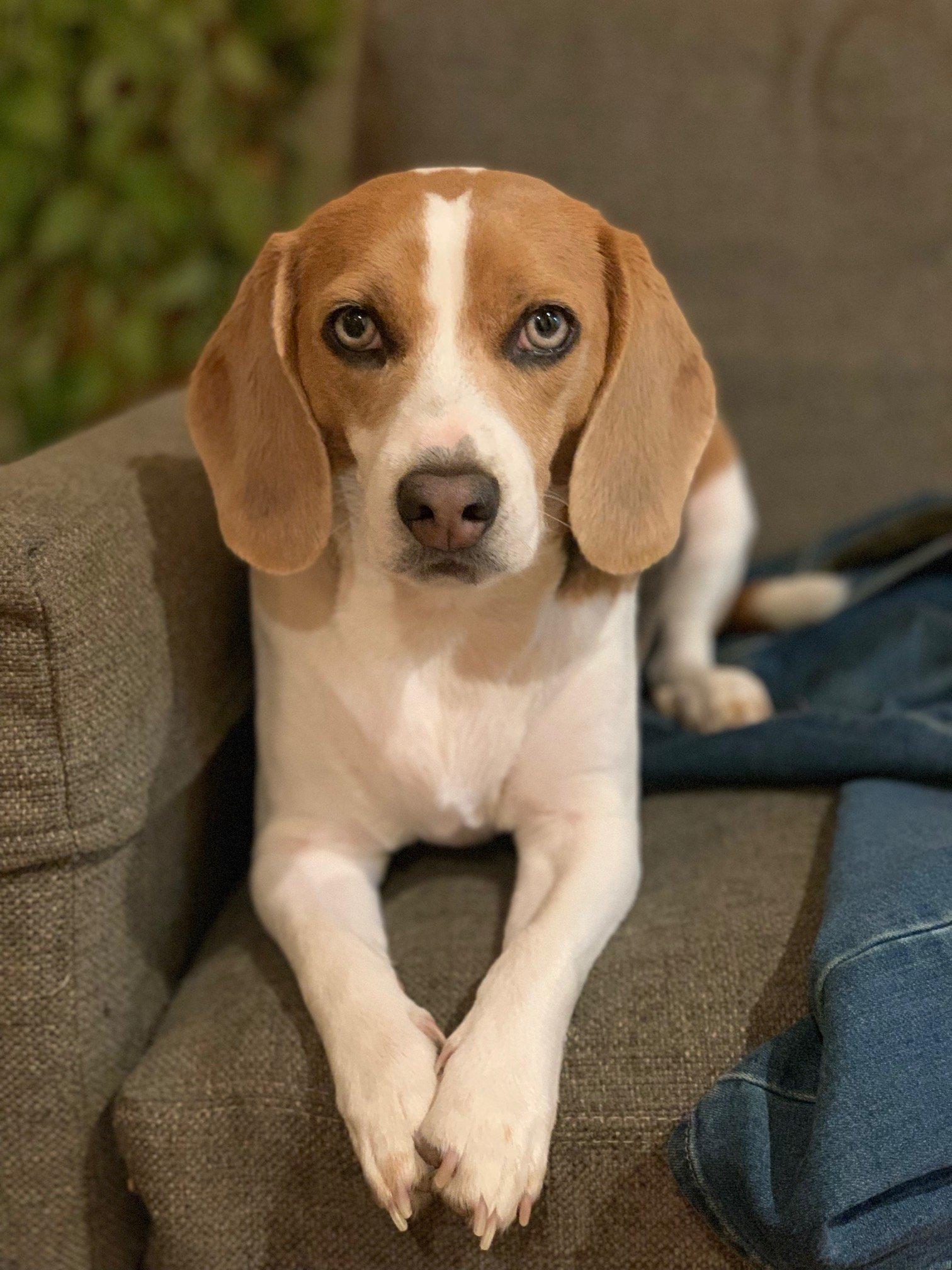 Beacon the Beagle